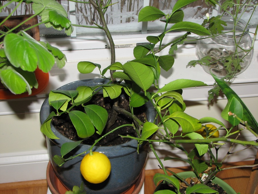 Meyer Lemon Curd andChallah