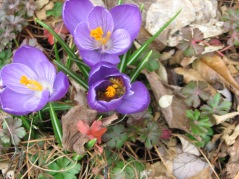 Two bees working a crocus bloom. Note the full pollen pouch on the one bee.