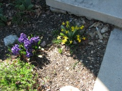 "Sweet little ""Tete a Tete"" daffodils and purple ""Aida"" hyacinth; candytuft getting ready to bloom in front of hyacinth"