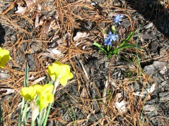 Daffodils and Siberian squill