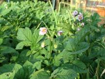 Potato blooms