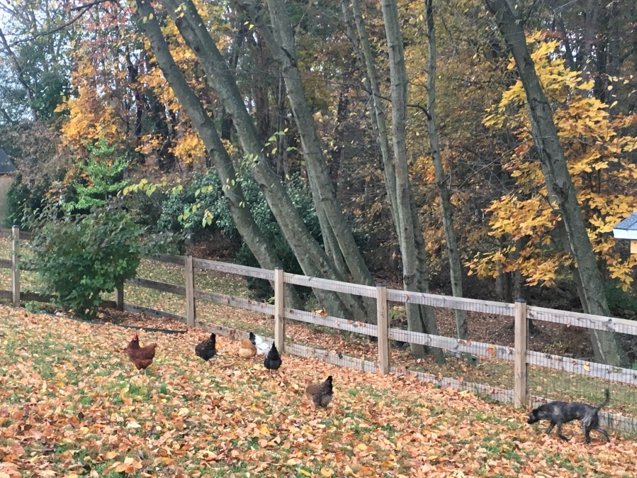 Autumn's Changes for Chickens, Honey Bees and theGarden