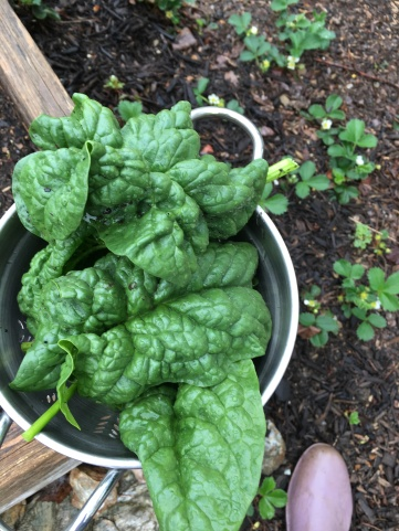 Bloomsdale spinach thriving in the spring weather of warm days, cool nights and plenty of rain.