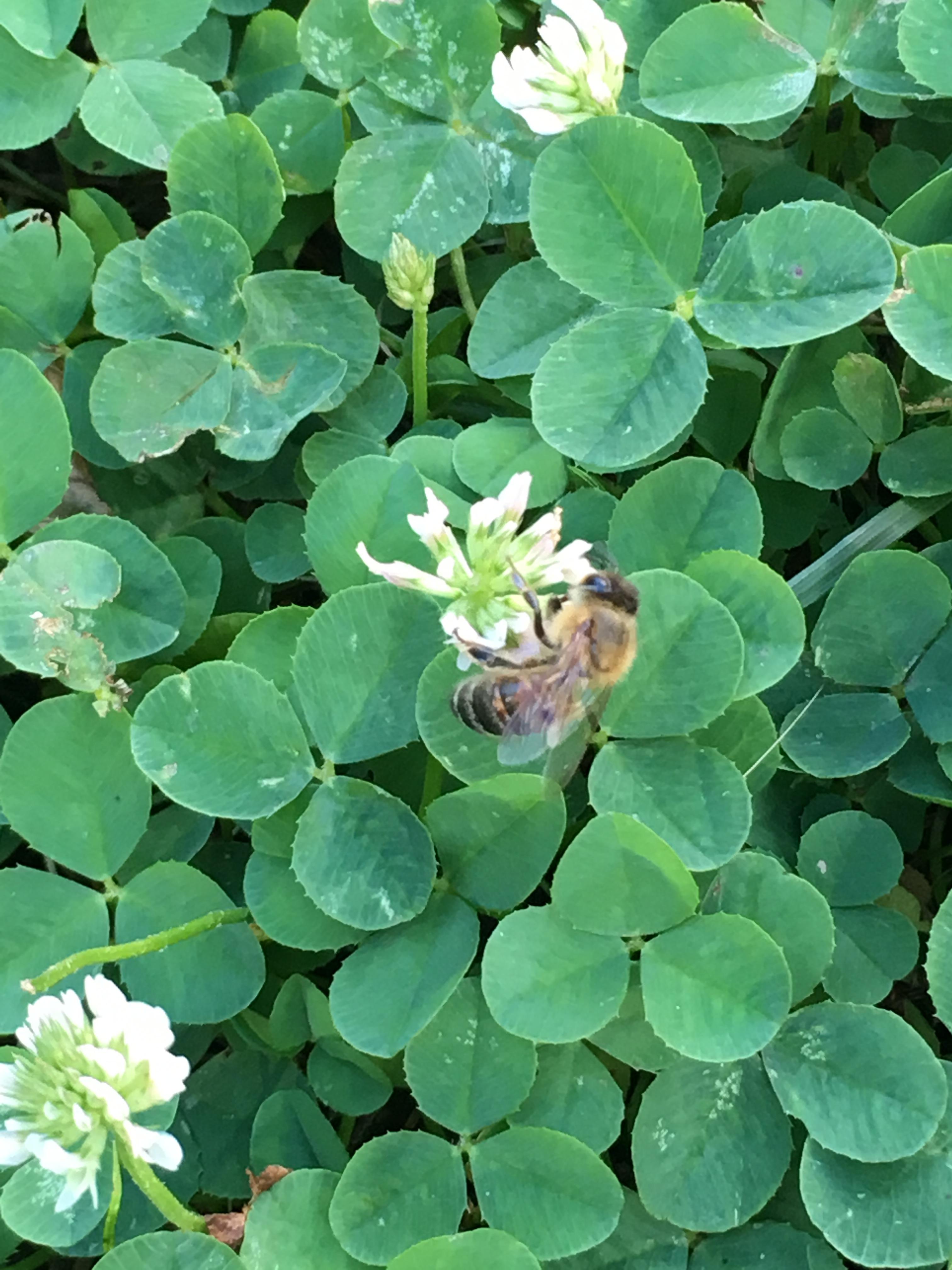 bee on clover.JPG