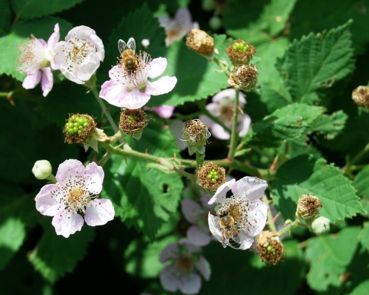 blackberry bloom with honey bees