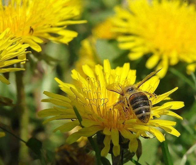dandelion with bee
