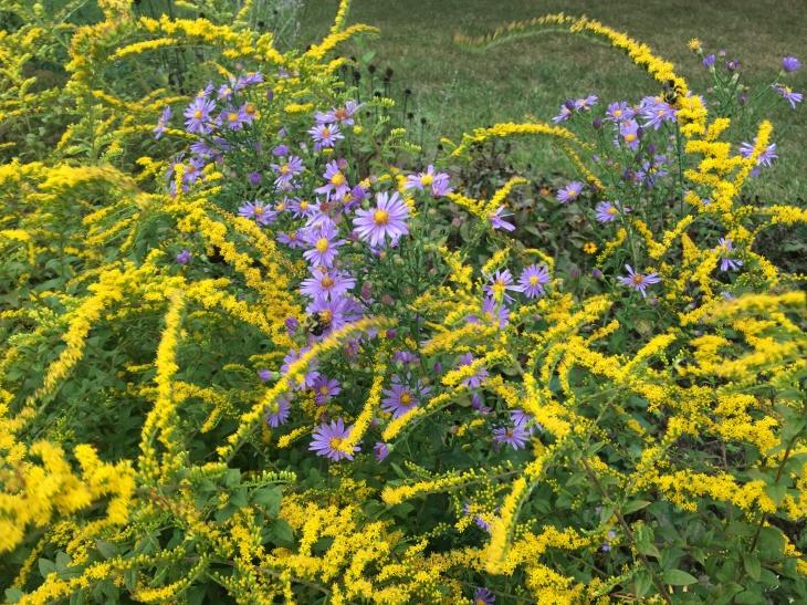 fireworks goldenrod & aster bees.JPG