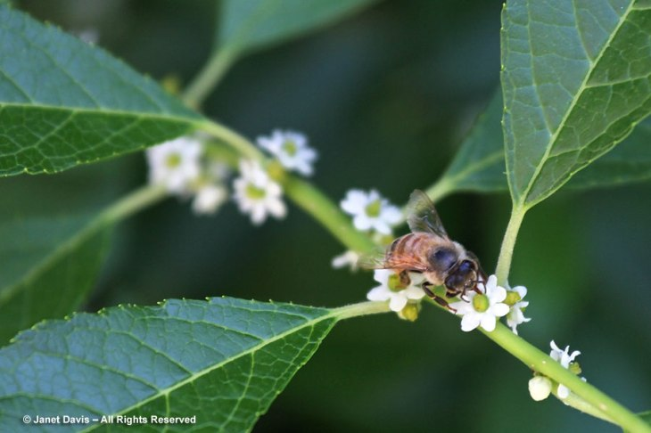 winterberry blooms and bees